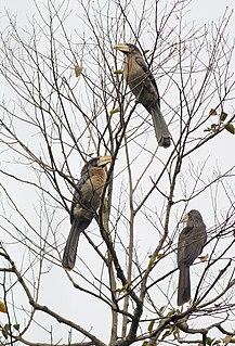 Austens brown hornbill