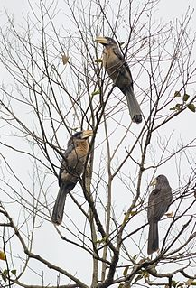 Austens brown hornbill species of bird