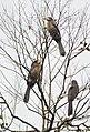 Austen's Brown Hornbill.jpg