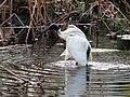 Australian White Ibis - The Royal Botanic Gardens - Sydney, Australia (9533756524).jpg