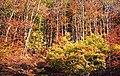 Autumn colours in Glyn-Hafren Wood - geograph.org.uk - 574036.jpg