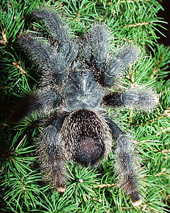 young Avicularia metallica, Theraphosidae