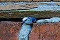 Azure Tit (Cyanistes cyanus) (14367066865).jpg