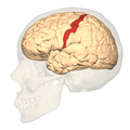BA312 - Primary Somatosensory Cortex - lateral view.png