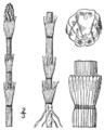 BB-0097 Equisetum laevigatum.png
