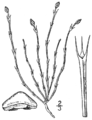 BB-0099 Equisetum scirpoides.png