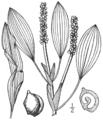 BB-0185 Potamogeton angustifolius.png