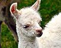 Baby Llama 2008.jpg