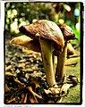 Backyard Mushrooms - Flickr - pinemikey.jpg