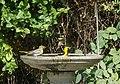 Backyard Oriole's (35606021610).jpg