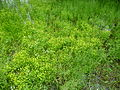 Badgeworth buttercup flowering 2012.jpg