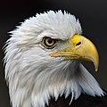 Bald eagle head 2019-07-13 - 1 (cropped).jpg