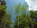 Bambous Arboretum Allard.jpg