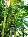 Banana trees Ethiopia (2).jpg