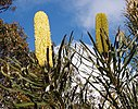 Candlestick banksia