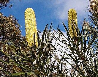 Banksia attenuata - B. attenuata, Margaret River
