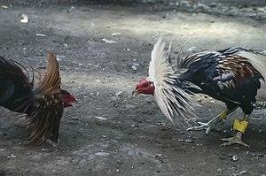 Barangay-Bulacao Cebu-City Philippines Cockfighting-event-09