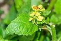 Barbarea vulgaris in Causse Comtal (2).jpg