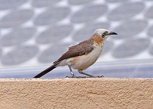 Bare-cheeked babbler - Individual at Hobatere, Namibia