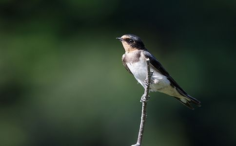 Barn swallow(young bird) at Tennōji Park in Osaka.