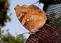 Baronet Euthalia nais UN by Dr. Raju Kasambe DSCN9440 (7).jpg