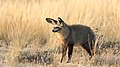 Bat-eared fox, Otocyon megalotis, at Kgalagadi Transfrontier Park, Northern Cape, South Africa (34649394450).jpg