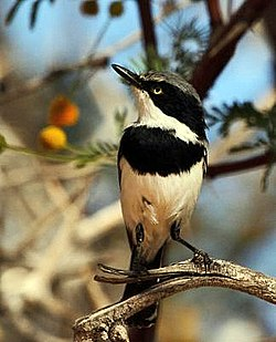Batis pririt -Northern Cape, South Africa -male-8.jpg