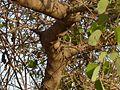 Bauhinia racemosa (2464341673).jpg