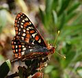 Bay Checkerspot f2.jpg