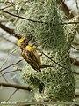 Baya Weaver (Ploceus philippinus) (42715467875).jpg