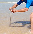 Beach worming 3 Seal Rocks NSW Australia.jpg