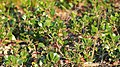 Bearberry (Arctostaphylos uva-ursi) - MacGregor Point Provincial Park 01.jpg