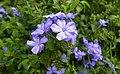 Beautiful blue flower.jpg