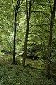 Beech trees, Upper Soudley - geograph.org.uk - 1465672.jpg