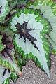 Begonia (Rex-hybrid) 'Merry Christmas' 02.jpg