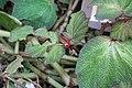Begonia Morocco 0zz.jpg