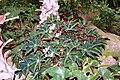 Begonia heracleifolia f. nigricans 01.jpg