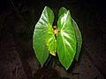 Begonia plant 18.JPG