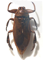 Belostoma gigantea z rodziny Belostomatidae
