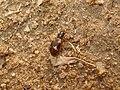 Bembidion quadrimaculatum 01.JPG