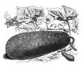 Benincasa cerifera Vilmorin-Andrieux 1883.png