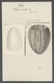 Beroe ovata - - Print - Iconographia Zoologica - Special Collections University of Amsterdam - UBAINV0274 110 05 0006.tif