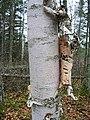 Betula papyrifera (5097509873).jpg