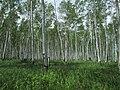 Betula platyphylla 01.jpg