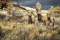 Big Horn Sheep on Abert Rim (13992676109).jpg