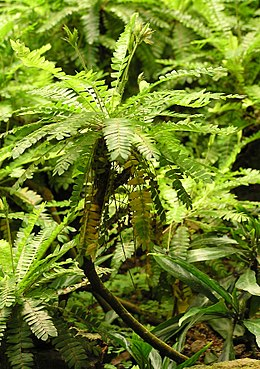 Biophytum sensitivum Oxalidaceae found in Nepal, India and