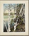 Birch trees at Spot Pond, left side - DPLA - 3226eccdf22018c7603408f5268a74e1.jpg