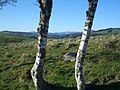 Birches by Cateran Trail - geograph.org.uk - 1116513.jpg