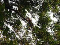 Bird White-throated Brown Hornbill Anorrhinus austeni IMG 9075 05.jpg