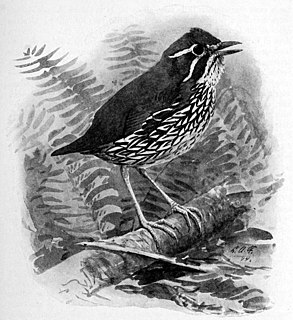 Schwartzs antthrush species of bird